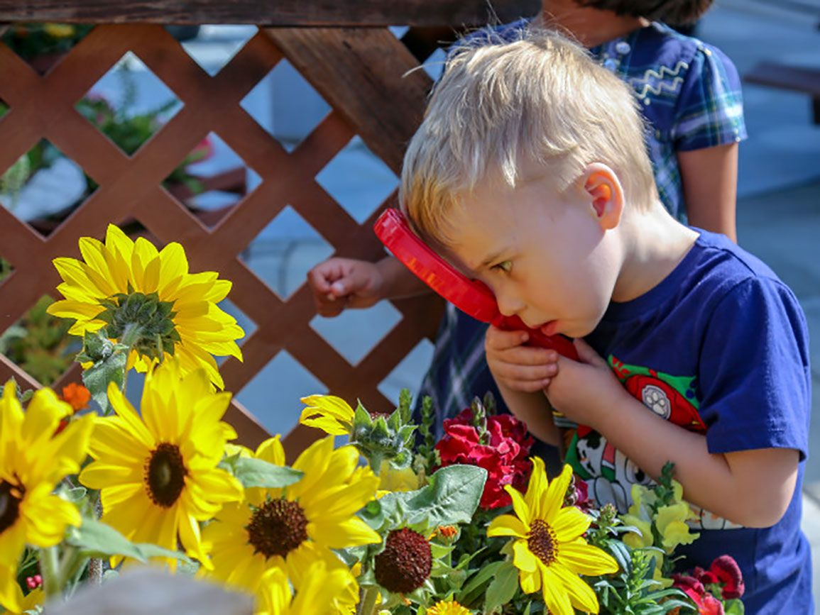 Preschooler examining sunflowers with a magnifying glass